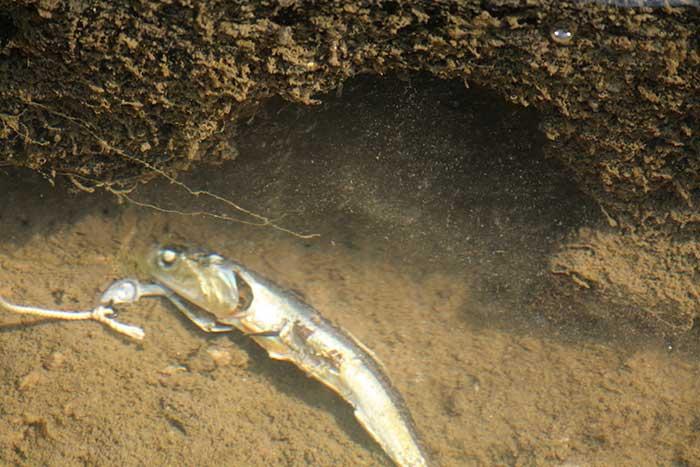 ザリガニ釣り煮干し沈める