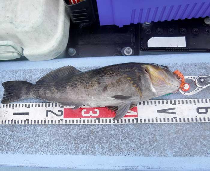 タイラバと大型アイナメ