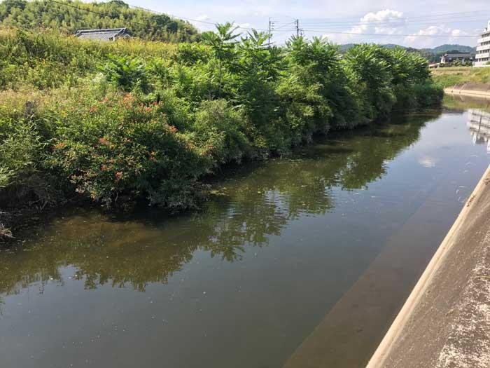 笹ヶ瀬川のナマズポイント