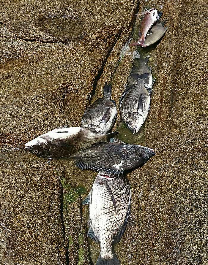 釣果チヌやウマヅラハギ