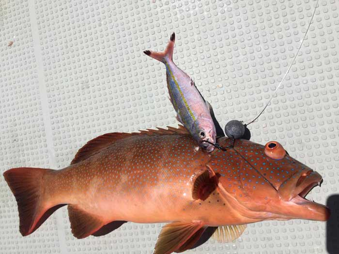 グルクン 泳がせ釣り アカジン