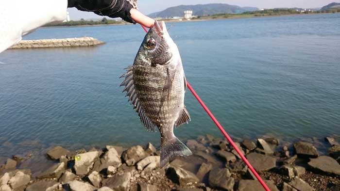 吉井川 チヌ