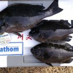 グレのフカセ釣りで40cmオーバーもヒット/御五神島・エボシ(愛媛県宇和島市津島)