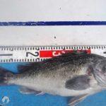 深場のタイラバで50cmオーバーの黒ソイもヒット/苫小牧沖(北海道苫小牧市)
