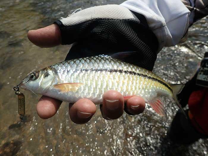 タイ カンチャナブリ クウェー川 魚