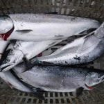 サクラマスのバケ釣り/白老沖(北海道白老町)