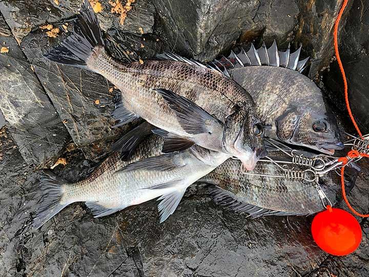 徳山湾のチヌ釣果