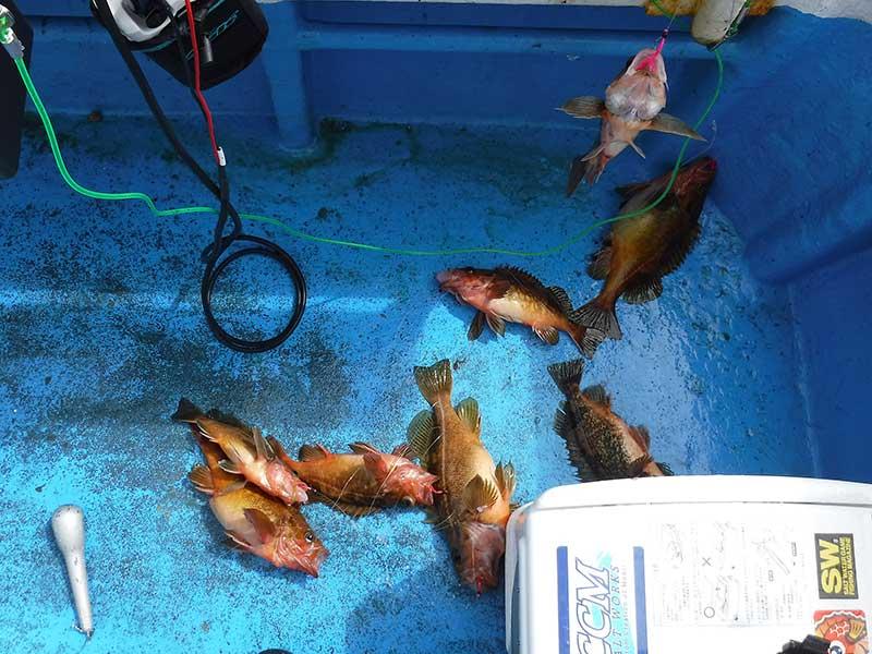 エゾメバル 釧路沖 船釣り