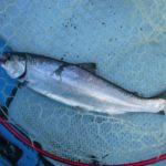 外道に翻弄されたサクラマスのバケ釣り(白老沖/北海道苫小牧市)