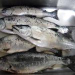サクラマスのバケ釣りで6匹キャッチ/白老沖(北海道苫小牧市)
