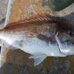 タイラバで真鯛、ハマチほか/山口県沖(出船:北九州市)