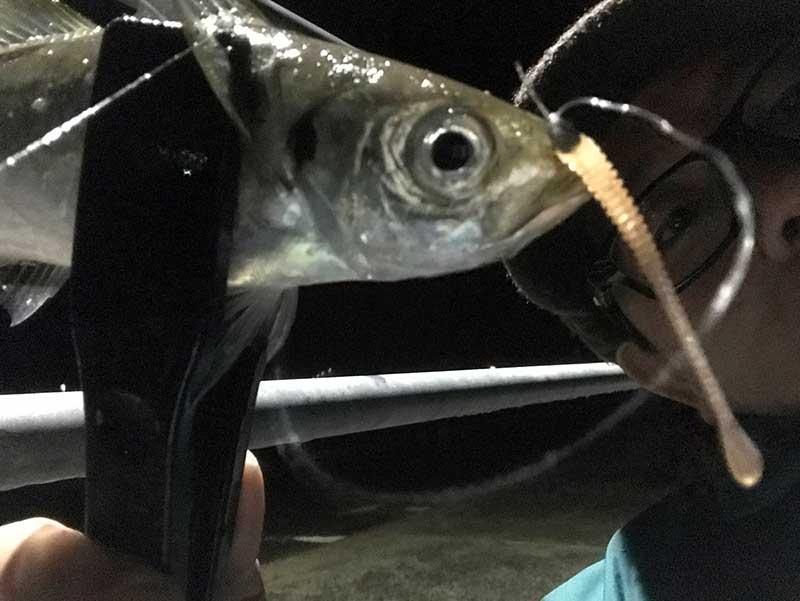 フロートリグで釣れたアジ