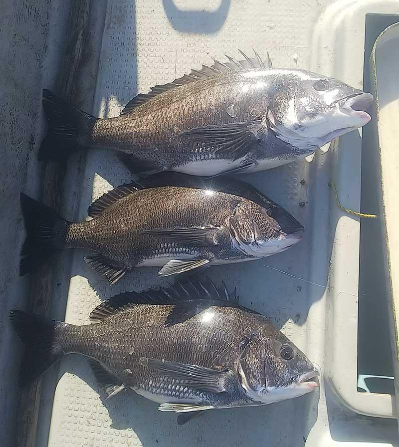 大型チヌの釣果