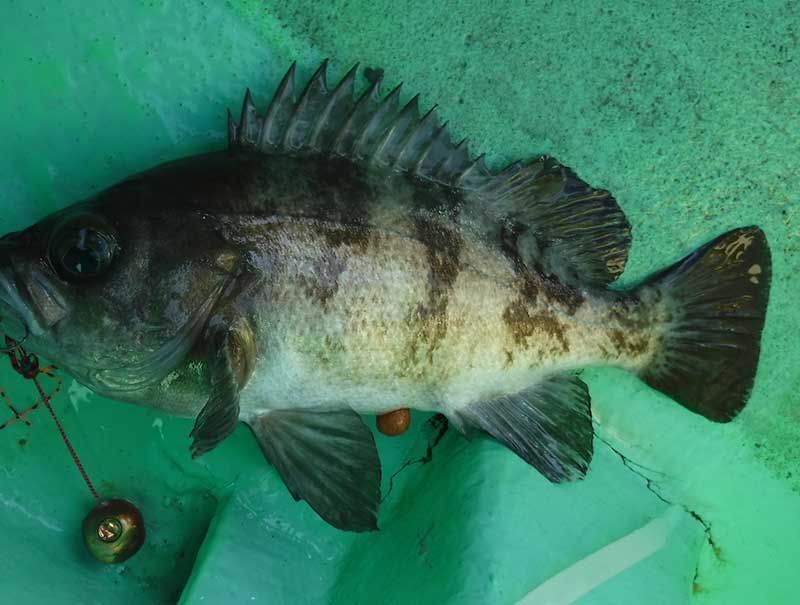タイラバで釣れたメバル