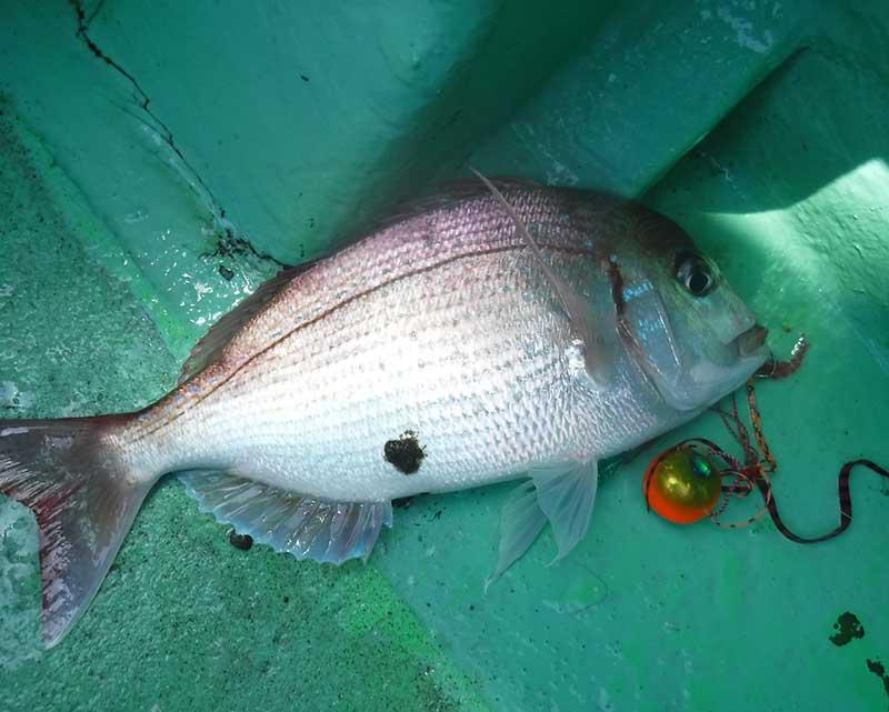 タイラバで釣れたチダイ