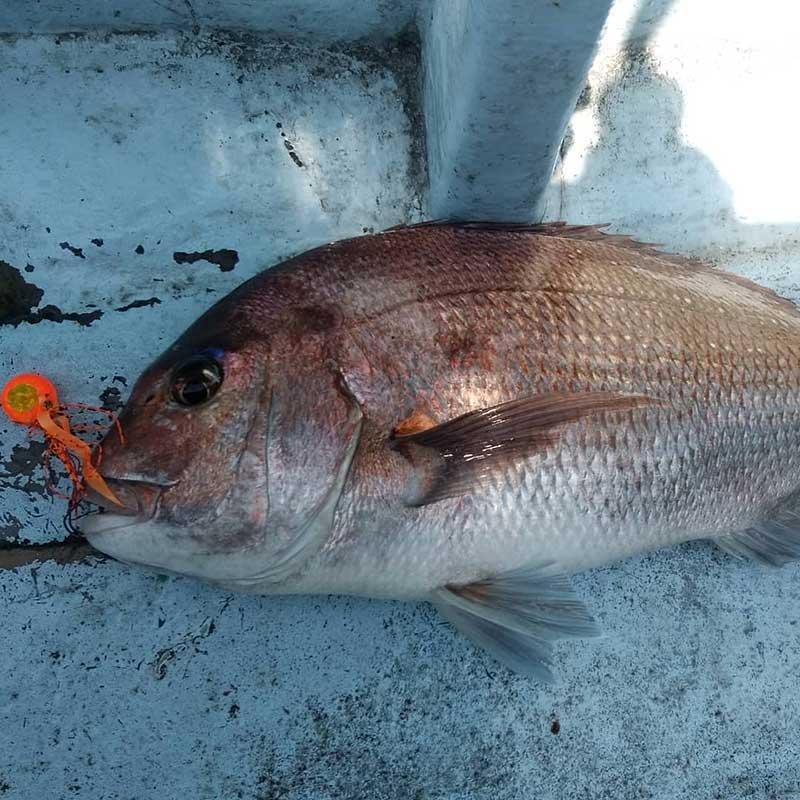 レバーブレーキのスピニングタイラバで釣れた真鯛の一例