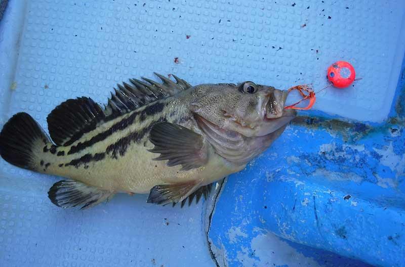 レバーブレーキのスピニングタイラバで釣れたシマゾイ