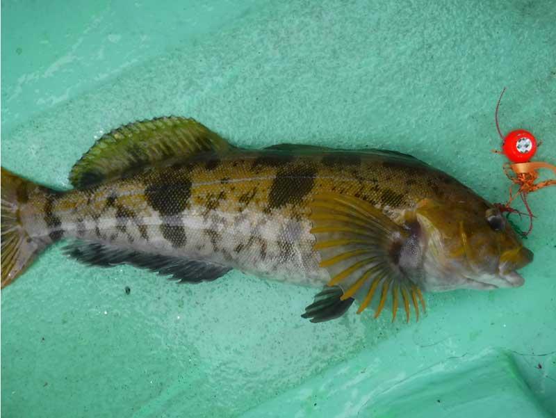 タイラバで釣れたアイナメ