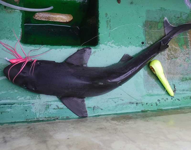 フトツノザメ 釣り